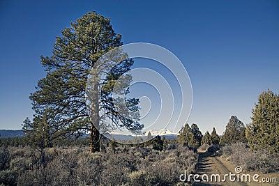 Ponderosa pine tree and dirt road