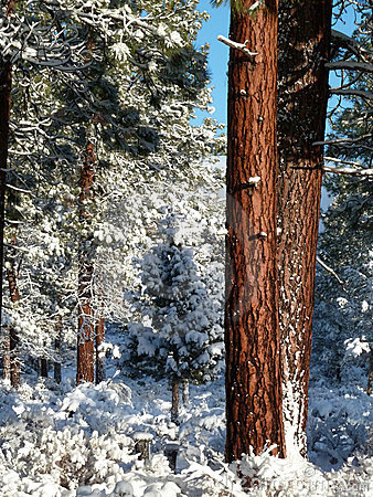 Ponderosa Pine trees after fresh snow
