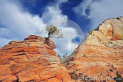 Ponderosa Pine Zion National Park