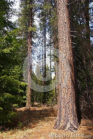 Ponderosa pines,