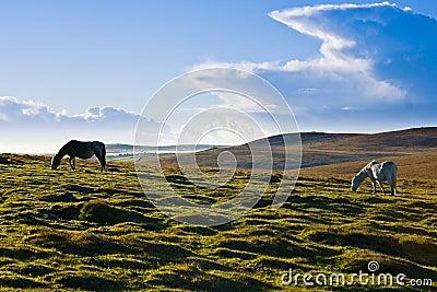 Ponies on Bodmin Moor