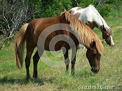 Ponies grazing