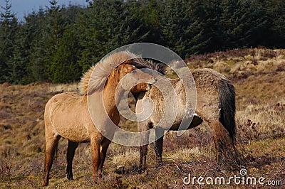Ponies Grooming each other