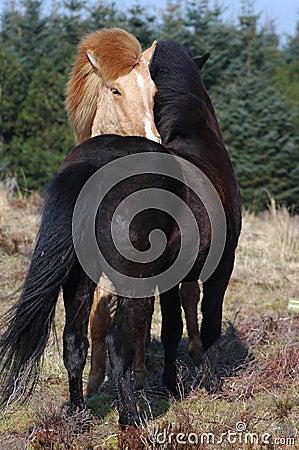 Ponies Grooming in the wind