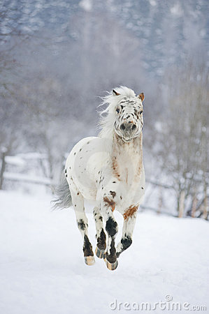 Pony appaloosa in action