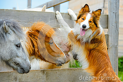 Pony and Border Collie dog, dating