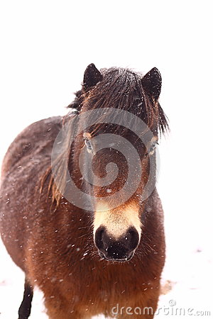 Pony in snow A