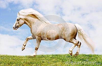 Pony stallion