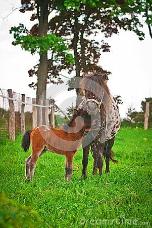 Free Pony With Foal Stock Photo - 43957740
