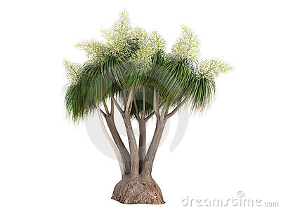 Ponytail Palm (Nolina or Beauca recurvata)