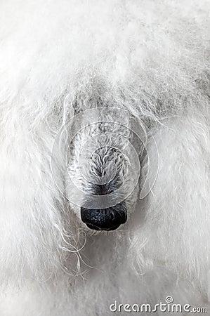 Free Poodle Stock Image - 18024551