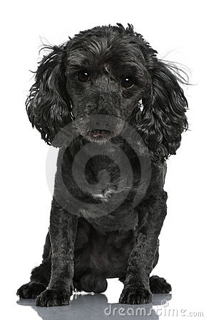 Poodle, 6 years old, sitting in front of white