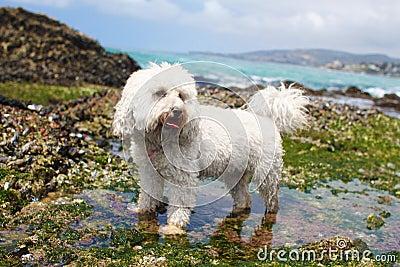 Poodle Bichon
