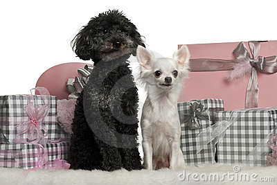 Poodle and a Chihuahua sitting with Christmas