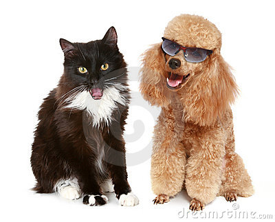 Poodle dog and black cat on a white background