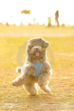 Poodle Doing Happy Dance