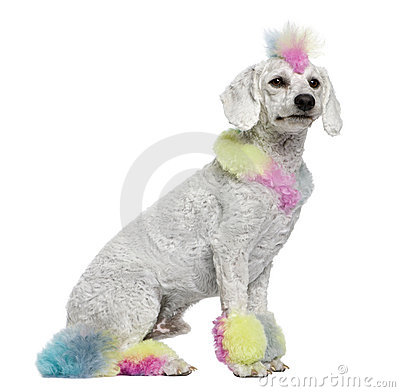 Poodle with multi-colored hair, 12 months old