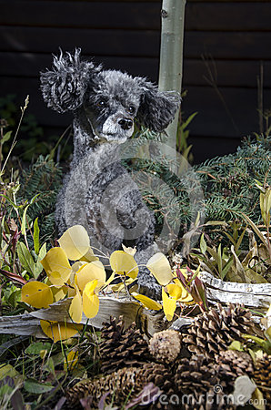 Poodle with pine cones