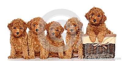 Poodle puppies with basket