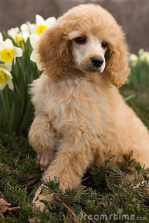 Free Poodle Puppy Stock Photo - 13239120
