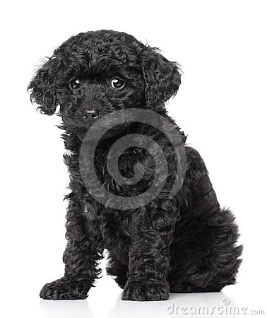 Free Poodle Puppy Royalty Free Stock Image - 24400316