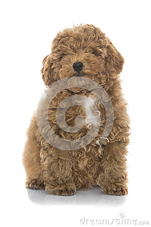 Free Poodle Puppy Stock Photos - 49633043
