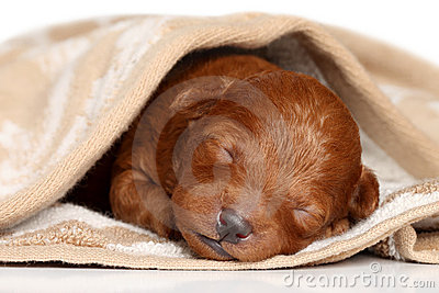 Poodle puppy (one week) warped in blanket