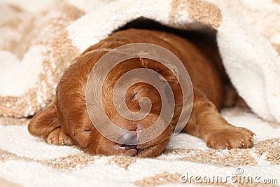 Poodle puppy (one week) warped in blanket