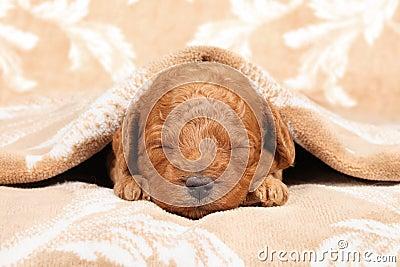 Poodle puppy (second week) sleep