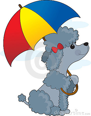 Poodle in Rain