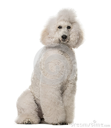 Poodle sitting in front of a white background.