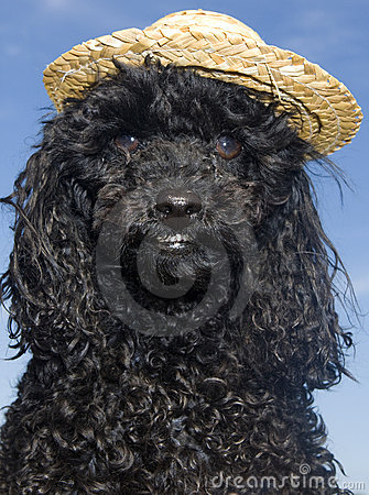 Poodle in Straw Hat