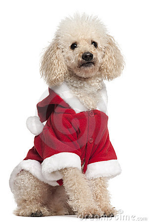 Poodle wearing Santa outfit, 8 years old