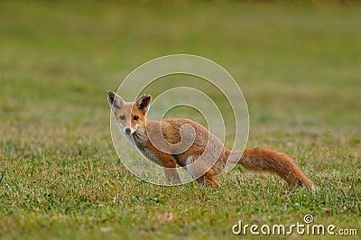 Pooping Fox