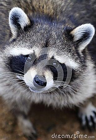 A Poor cute raccoon