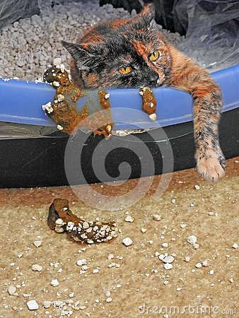 Free Poor Sick Kitty Upset Tummy In Litter Tray Royalty Free Stock Image - 144081496