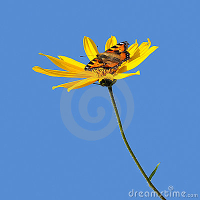 Popato цветка Канады бабочки