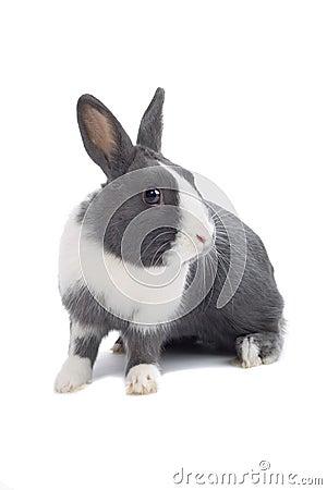 Popielaty królik