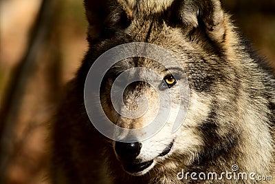 Popielaty wilk