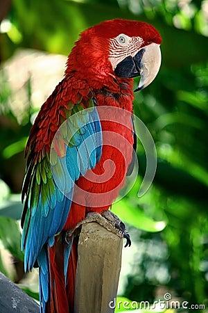 Popinjay bird