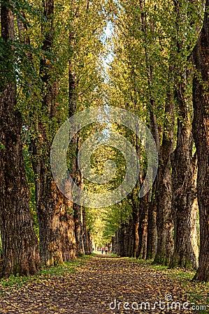 Poplar alley