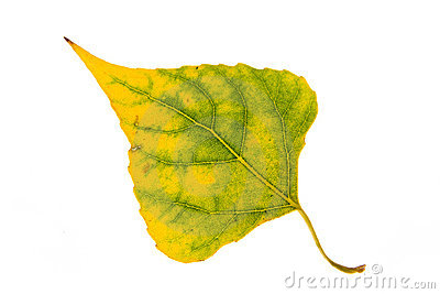 Poplar autumn leaf