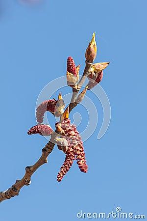 Poplar buds
