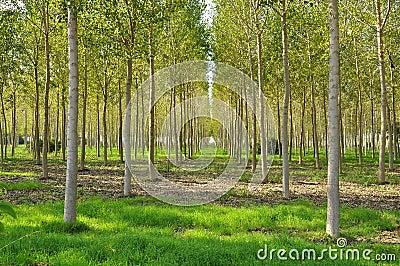 Poplar field in Lombardy, Italy.