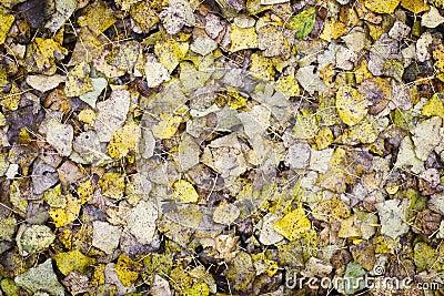 Poplar Leaf Background