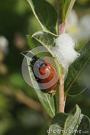 Poplar Leaf Beetle