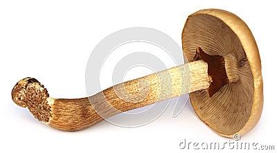 Poplar mushroom