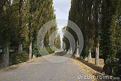 Poplar Tree Alley In Park