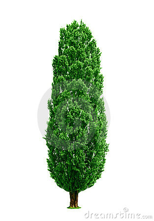 Poplar tree isolated