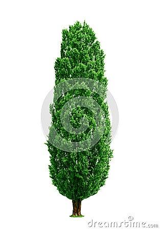 Free Poplar Tree Isolated Royalty Free Stock Photo - 14909945
